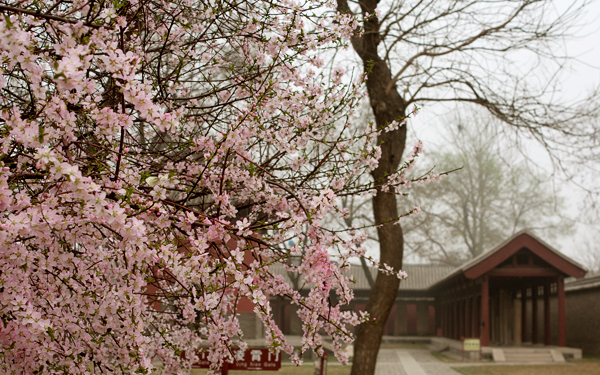 Cherry blossoms in full bloom at the Beiyue Temple